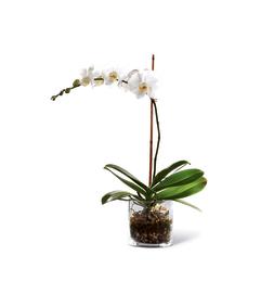 Elegant white orchid