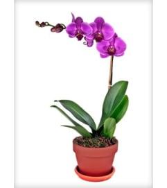 Single Purple Orchid Plant