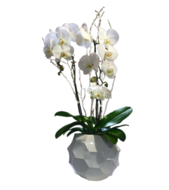 White Orchid two stems