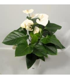 White Anthurium Plant