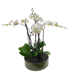 Glass Orchid