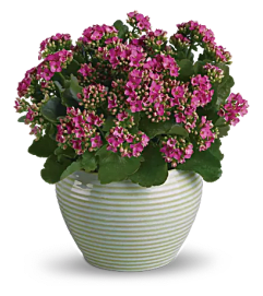 Blooming Kalanchoe Plant
