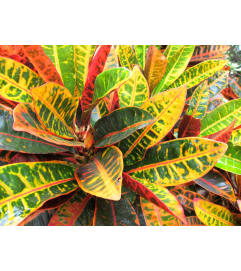 TRI-COLOR CROTON HOUSEPLANT