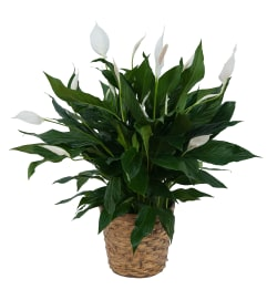 Peace Lily Plant in Basket
