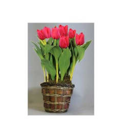 Tulip Plant In Basket