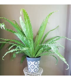 Luscious Birds Nest Fern