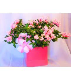 Pretty In Pink Azalea Planter