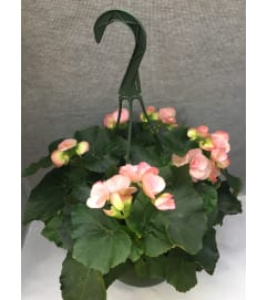 Assorted Rieger Begonia Hanging Basket