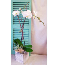Classic White Orchid Plant