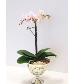 Petite Orchid