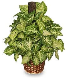 GREEN NEPHTHYTIS PLANT