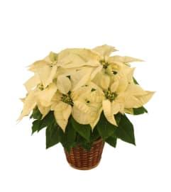 Winter white Poinsettia