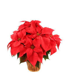Vibrant red poinsettia