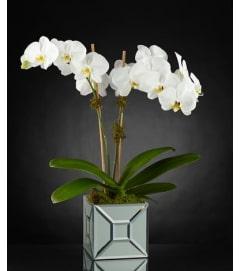 Luxury Elegant Impressions Orchid