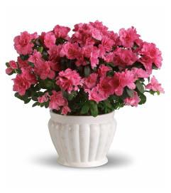 The Pretty In Pink Azalea