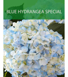 Wrapped Blue Hydrangea Special