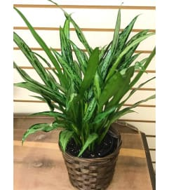 Cutlass Aglaonema in Basket