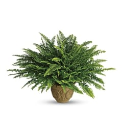 Heartwarming Thoughts Boston Fern by Teleflora