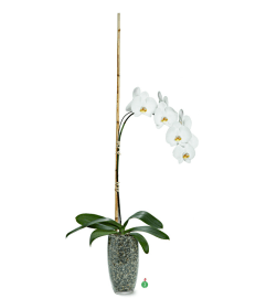Single Stemmed Phalaenopsis Orchid