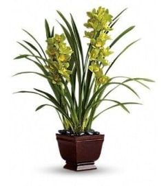 Cymbidium Planter