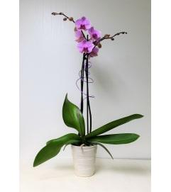 Sue's Orchid