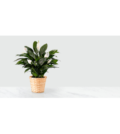 Peace Lily Houseplant