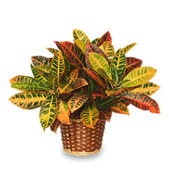 SALE: $29.99 Fall Croton Plant