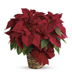 Red Poinsettia T122-1