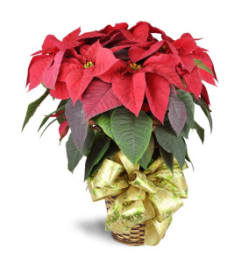 Pretty Holiday Poinsettia