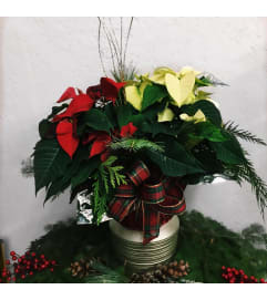 Mrs Claus Poinsettia