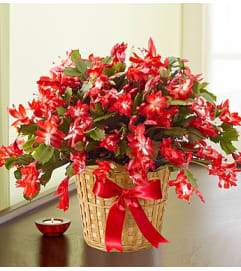 7 in Christmas Cactus in a Basket