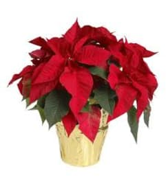 Red Poinsettia 18'