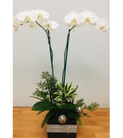 Double White Phalaenopsis Orchid Plant