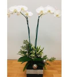 Double White Phalaenopsis Orchid Plant
