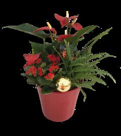Christmas Anthurium Cheer