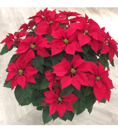 Extra-Large Red Poinsettia