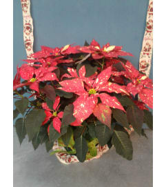 Peppermint Poinsettia Christmas