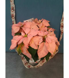 Novelty Pink Poinsettia