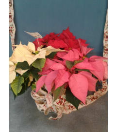 Combo Color Poinsettia