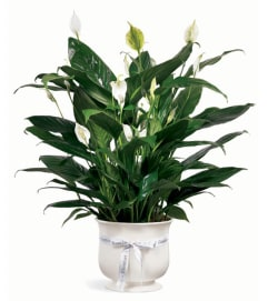 Peace Lily in a Ceramic Planter