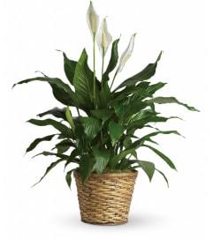 Peace Lily Plant w/ Basket