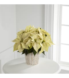 White Poinsettia w/ Basket