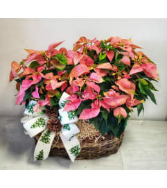 Pink Poinsettia Plants