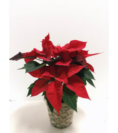 Perfect Petite Poinsettia