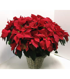 Gorgeous Grand Poinsettia
