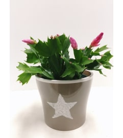 Christmas Cactus in Ceramic (small)