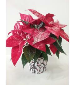 Snowy Poinsettia