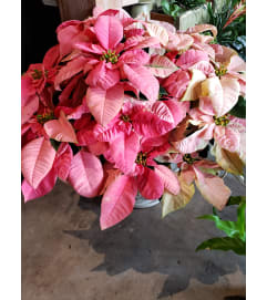 PINK/MARBLE POINSETTIA
