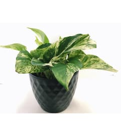 Perky Pothos in Ceramic