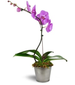 Dreamy Phalaenopsis Orchid